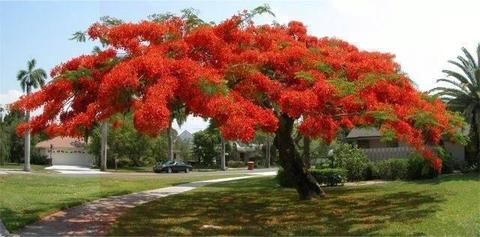 POINCIANA TREES ( Qld red flower tree )