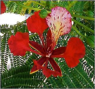POINCIANA TREES ( Qld red flower tree ) SEEDS for SALE